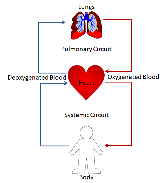 Diagram of pulmonary circulation in man auto wiring diagram today double circulation definition advantage video lesson rh study com with the help of diagram show pulmonary circulation in man cardiac and pulmonary ccuart