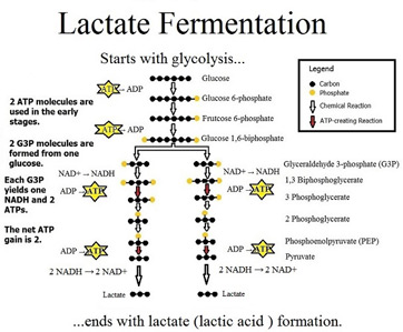 Lactic Acid Fermentation Definition Products Equation Video
