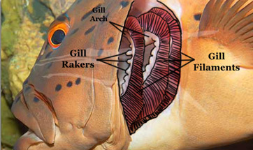 Gills definition anatomy for Arches related to breathing gills in fish