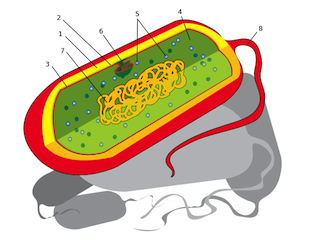 General image for bacterium anatomy