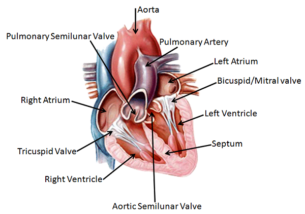 Double Circulation Definition Advantage Video Lesson – The Human Heart Anatomy and Circulation Worksheet