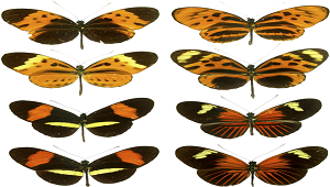 Image of butterflies that exhibit Mullerian mimicry