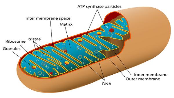 Mitochondrial Matrix: Definition & Function - Video & Lesson ...