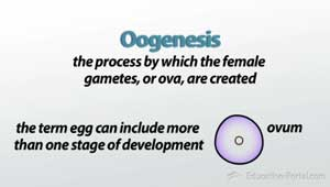 Oogenesis how the female reproductive system produces eggs definition of oogenesis voltagebd Choice Image
