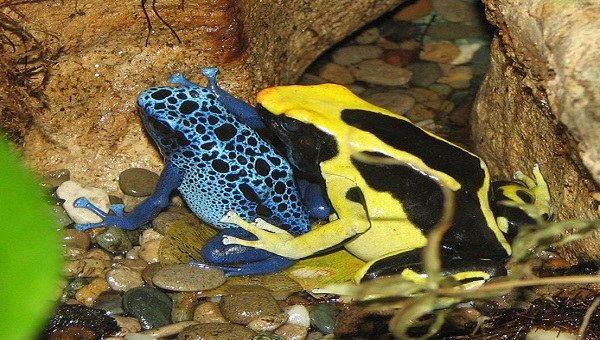 Image of poison dart frogs.