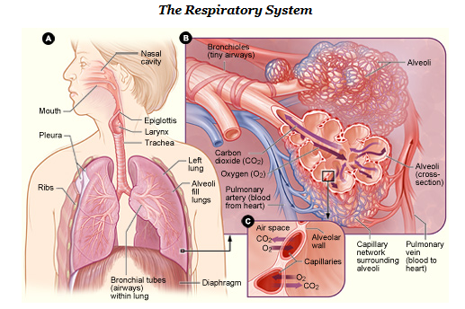 Lung Ventilation System : Alveolar ducts function definition study