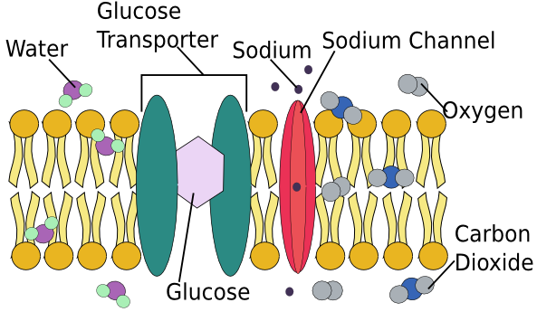 Cell Membrane Not Labeled