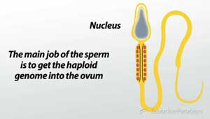 Spermatogenesis: How the Male Reproductive System Produces Sperm ...