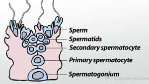 Spermatogenesis how the male reproductive system produces sperm spermatogenesis illustration ccuart Image collections