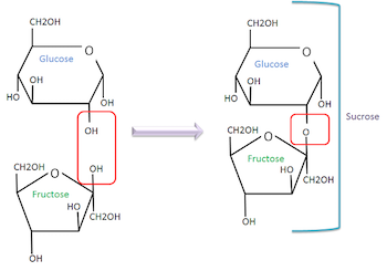 Molecular structures of glucose, fructose, and sucrose