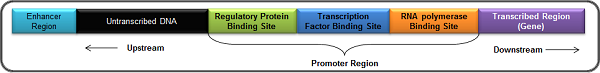 Image of a Transcription Factor Binding Site