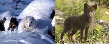 Tundra Arctic Fox In Summer Tundra Biome: C...
