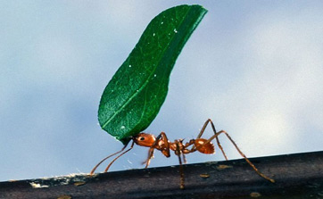 Worker Ant Carrying Leaf