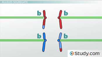 Diagram of separating chromosomes