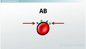 AB Blood Has Both Types of Proteins