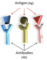 Antibodies and their antigens