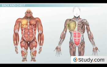 abs and pecs in human and gorilla