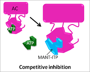 Competitive inhibitors block AC function