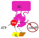 Gi inhibits AC function