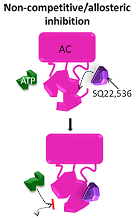 Non-competitive/allosteric inhibitors block AC function