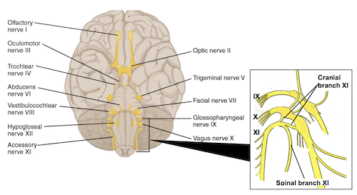 Spinal Accessory Nerve Function Anatomy Study