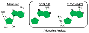 Analogs of adenosine have molecules in common