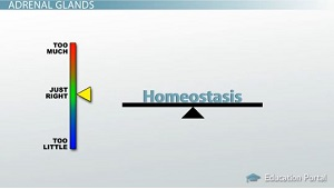 Adrenals Maintain Homeostasis
