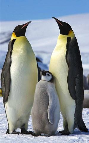 Emperor Penguin Facts: Lesson for Kids   Study.com