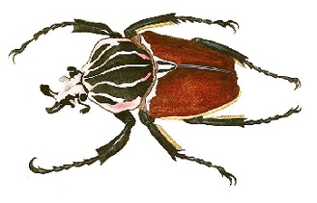 African Goliath Beetle Life Cycle: Lesson for Kids | Study com