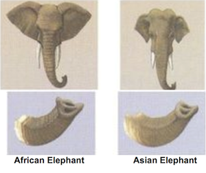 Size Comparison Between Savanna And Forest Elephants