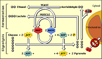 AP Bio Essay Help! Compare and contrast aerobic vs. anaerobic respiration. Include total ATP tallies for each?