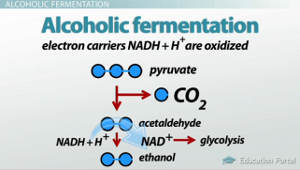 Lactic Acid Alcoholic Fermentation Comparison Contrast