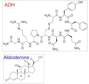 what it is aldosterone? essay What are the adrenal glands  the last role of the cortex is to produce mineralocorticoids like aldosterone, which regulates our fluid and mineral excretion these.