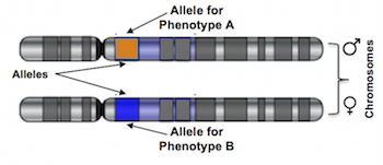 Alleles and Phenotype