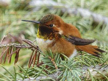 Hummingbird Habitat: Lesson for Kids   Study com