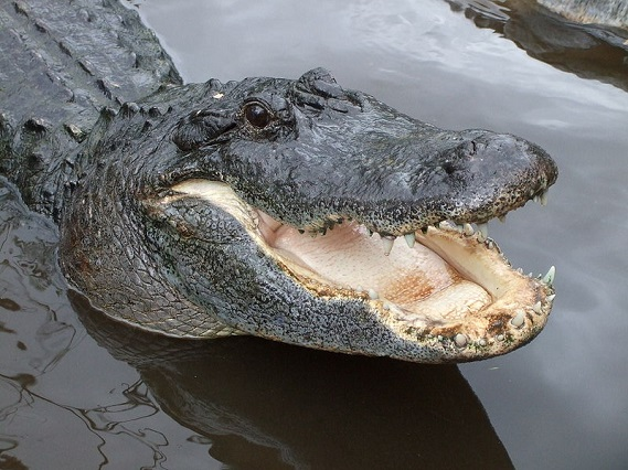 Alligators Food They Eat
