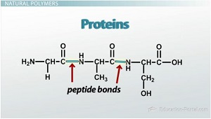 Amino Acids Bond to Make Proteins