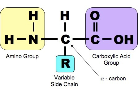 Amino Acid Structure