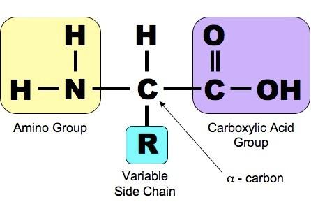 Amino Structural Formula Amino Acid Structure