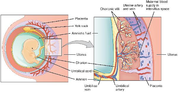 what is an amniotic egg definition & ex&les study  : amniotic egg diagram - findchart.co