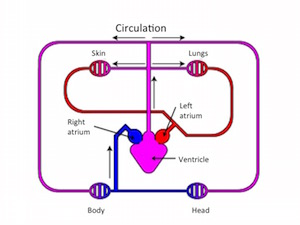 Amphibians circulatory system video lesson transcript study in the diagram the red loop is the pulmocutaneous circuit and the blue loop is the systemic circuit ccuart Gallery