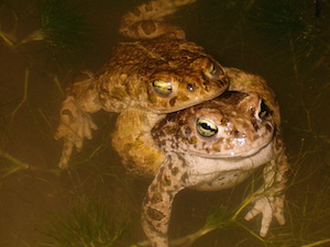 Do toads reproduce sexually or asexually