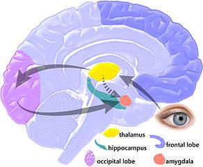 「amygdala role」の画像検索結果