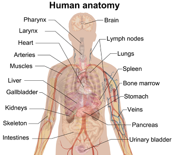 Anatomy Definition Lesson For Kids Study Com
