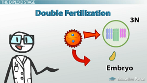 Angiosperm Life Cycle Double Fertilization