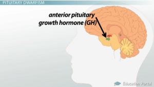 anterior pituitary gh diagram