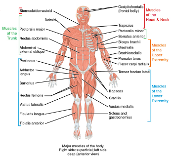 main muscles in the human body – citybeauty, Muscles