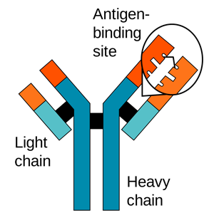 Heavy and Light Antibody Chains