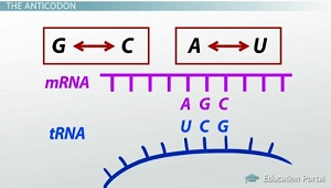 Anticodon Diagram
