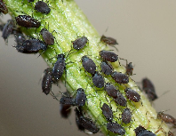 Advantages of asexual reproduction in aphids bugs